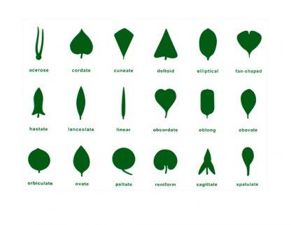 Este material consiste en una lámina de control del gabinete de la hoja de botánica que incluye 18 tipos diferentes de hojas con sus nombres en inglés,vista frontal,foto redes sociales,mmm319